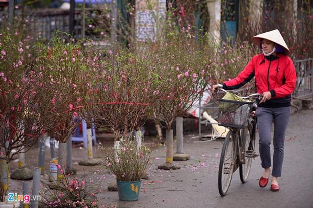 春节前期摆放桃花——河内人多年来的乐趣 hinh anh 1