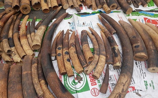 海防市海关总局发现并扣押1.4吨穿山甲鳞片和100公斤象牙 hinh anh 1