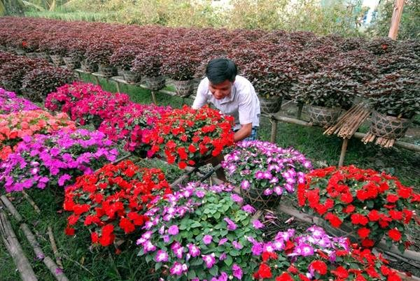 号称花卉王国的槟知省花卉种植区百花绽放迎新春 hinh anh 1