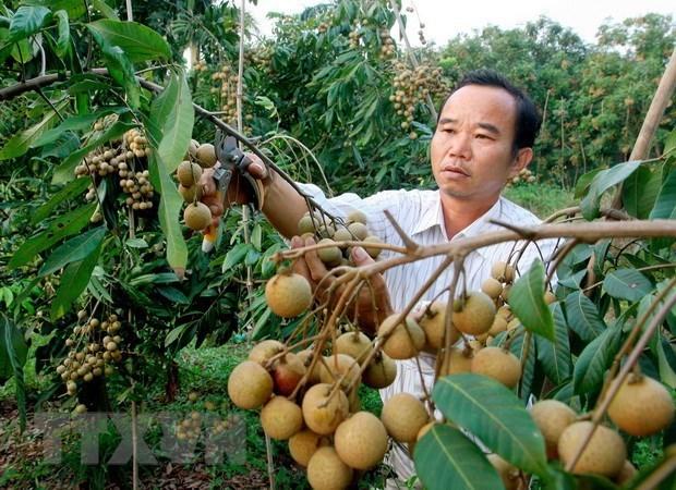 九龙江三角洲地区水果出口商春节后赶订单忙出口 hinh anh 1