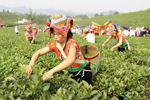 越南山罗省木州高原茶文化之美 hinh anh 1