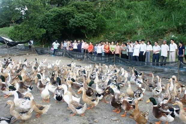 茶荣省海鸭养殖模式—— 应对气候变化新模式 hinh anh 1