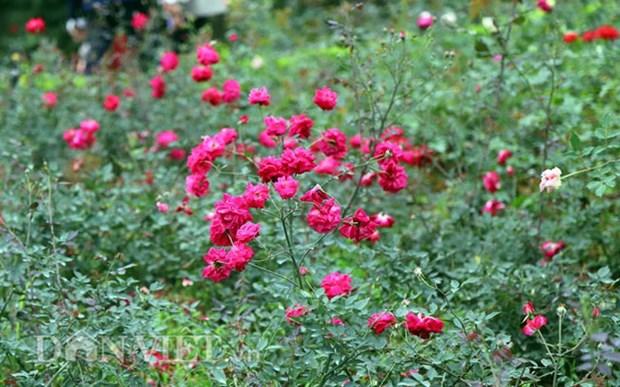 越南最大玫瑰花园——河内居民新奇的春游目的地 hinh anh 2