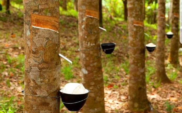 泰国、印尼和马来西亚削减橡胶出口规模 hinh anh 1