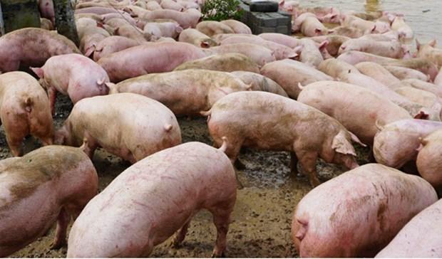 越南各地进一步强化落实非洲猪瘟防控措施 hinh anh 1