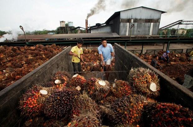 2019年印尼和马来西亚棕榈油产量将刷新纪录 hinh anh 1