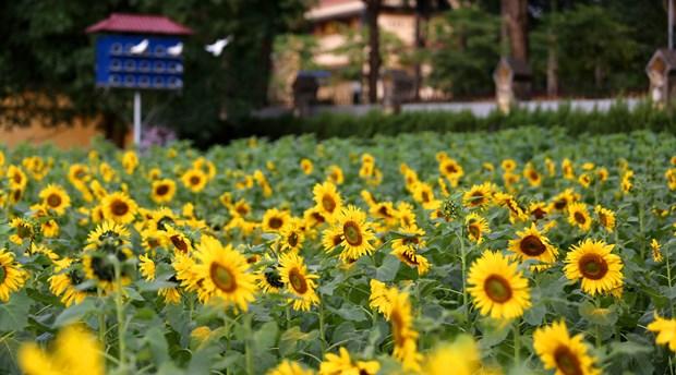 首都河内的向日葵花园颇受青睐 hinh anh 2
