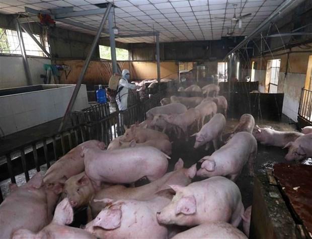 广宁省采取措施控制非洲猪瘟疫情蔓延 hinh anh 1