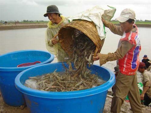 茶荣省多措并举提高虾类产量和质量 hinh anh 1