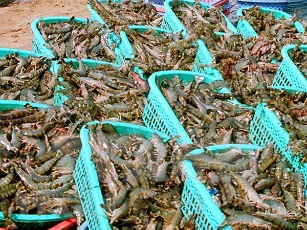 茶荣省多措并举提高虾类产量和质量 hinh anh 2