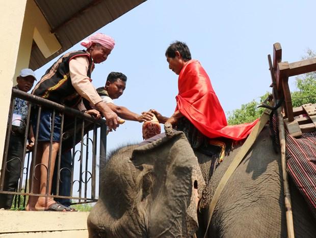 颇具本土文化特色的祈求大象健康仪式在得乐省举行 hinh anh 1