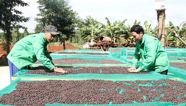 提高咖啡价值和发展西原经济区 hinh anh 1