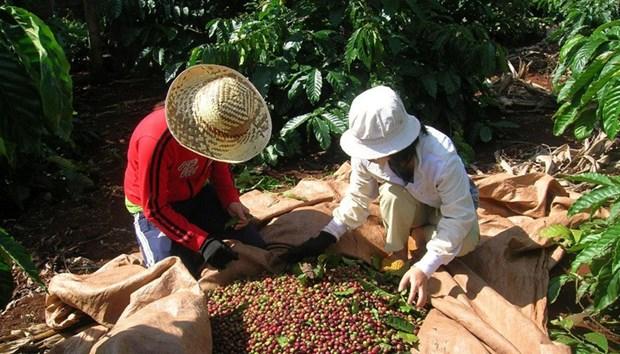 提高咖啡价值和发展西原经济区 hinh anh 2