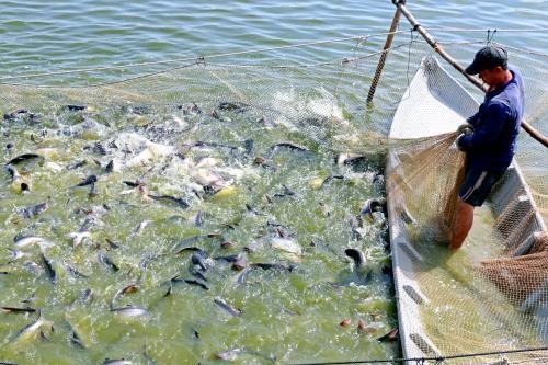 2019年水产业努力实现查鱼出口额达24亿美元的目标 hinh anh 1