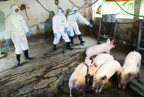 农业与农村发展部就非洲猪瘟疫情防控工作召开紧急会议 hinh anh 1