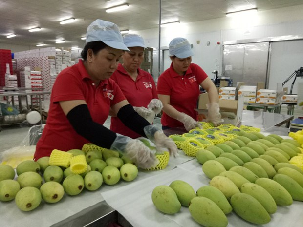美国允许进口越南新鲜芒果 hinh anh 1