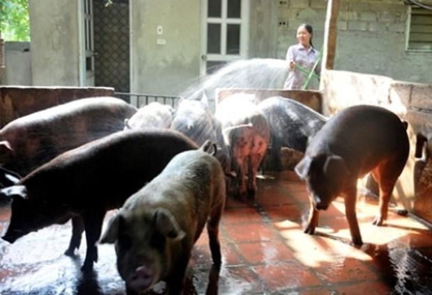 越南宁平省非洲猪瘟防控取得显著成效 hinh anh 1