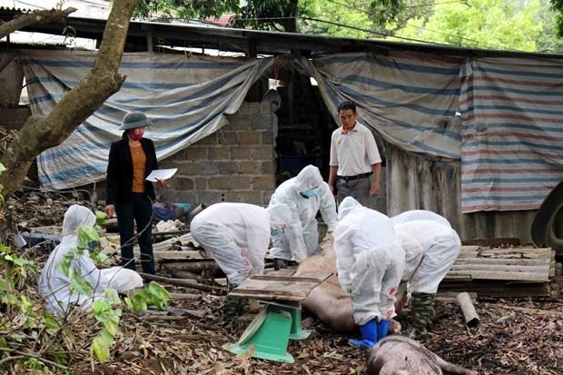 越南莱州省出现首例非洲猪瘟 hinh anh 1