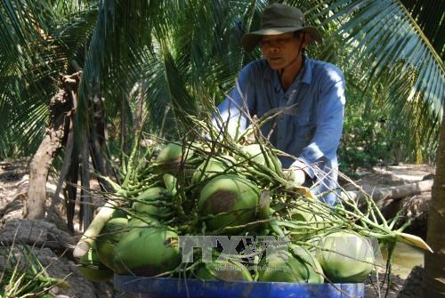 努力推动九龙江三角洲椰子行业可持续 hinh anh 1