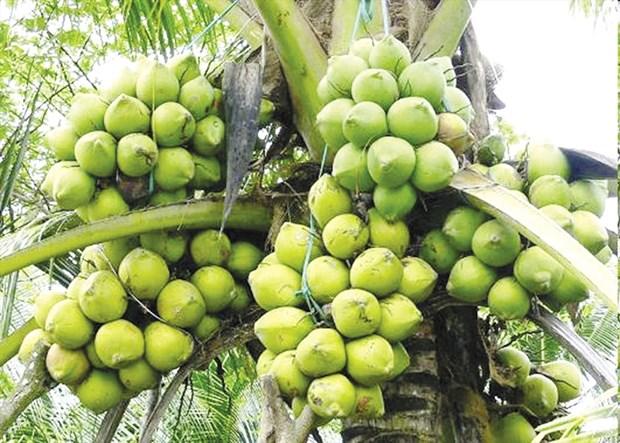 努力推动九龙江三角洲椰子行业可持续 hinh anh 2