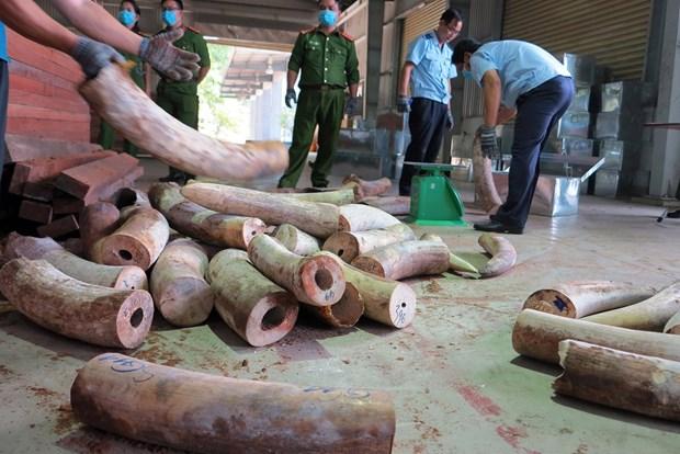岘港市海关发现有史以来最大一批象牙走私案 查获象牙重达9.1吨 hinh anh 2