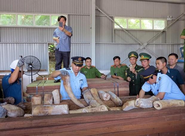 岘港市海关发现有史以来最大一批象牙走私案 查获象牙重达9.1吨 hinh anh 1