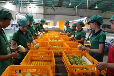 中国是越南芒果的最大出口市场 hinh anh 1