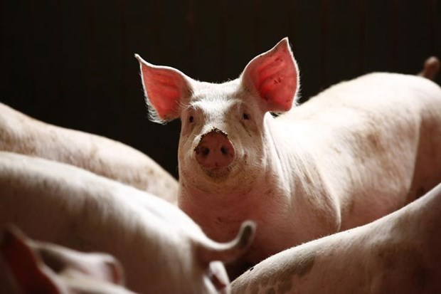 柬埔寨东北地区爆发非洲猪瘟疫情 hinh anh 1