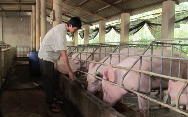 宁平省华闾县宣布非洲猪瘟疫情结束 hinh anh 1