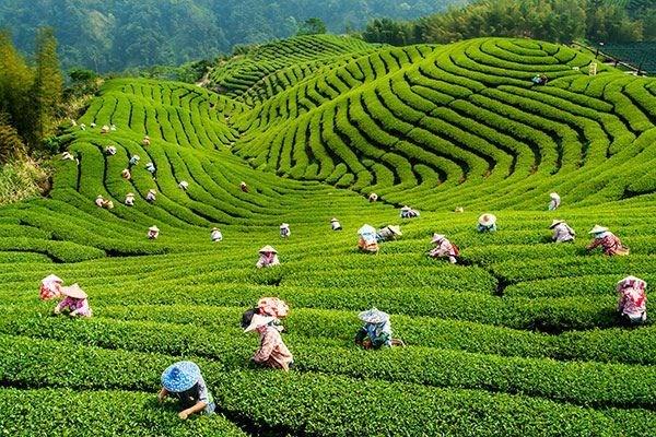 越南2019年第一季度茶叶出口额增长15.4% hinh anh 1