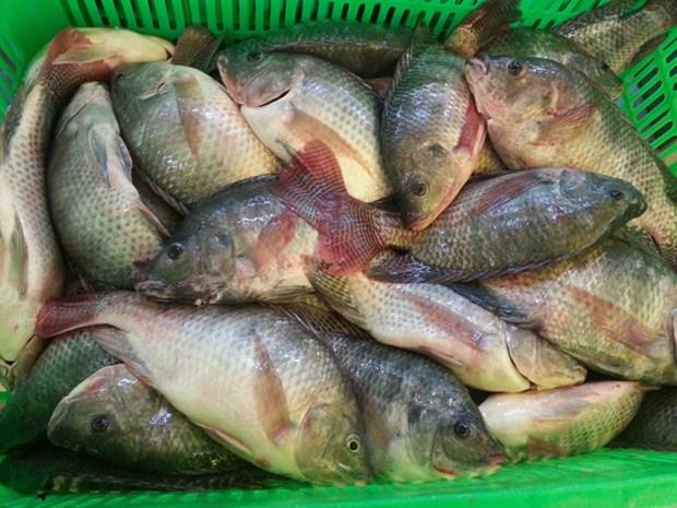 越南罗非鱼有望扩大美国市场份额 hinh anh 1