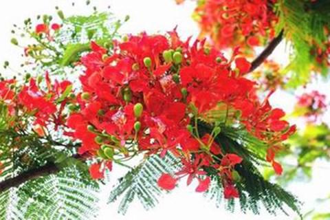海防市红色凤凰花节将举行60多项活动 hinh anh 2
