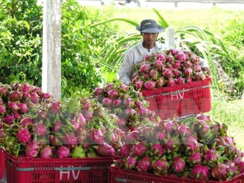 越南水果逐步征服苛刻市场 hinh anh 1