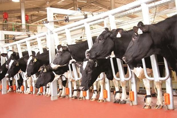 越南牛奶产量在东盟地区排名第二 hinh anh 1