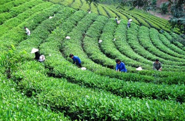 太原省将茶叶产业发展成为经济优势 hinh anh 1
