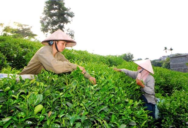 太原省将茶叶产业发展成为经济优势 hinh anh 2
