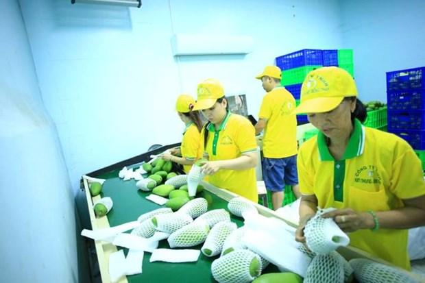 越南VinaT&T公司对美国出口71吨芒果 hinh anh 1