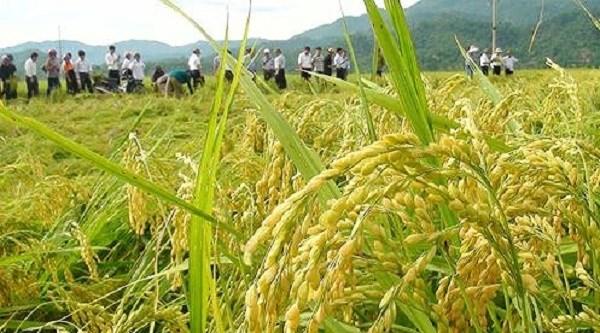 河内市推动粳稻生产 满足出口需求 hinh anh 1