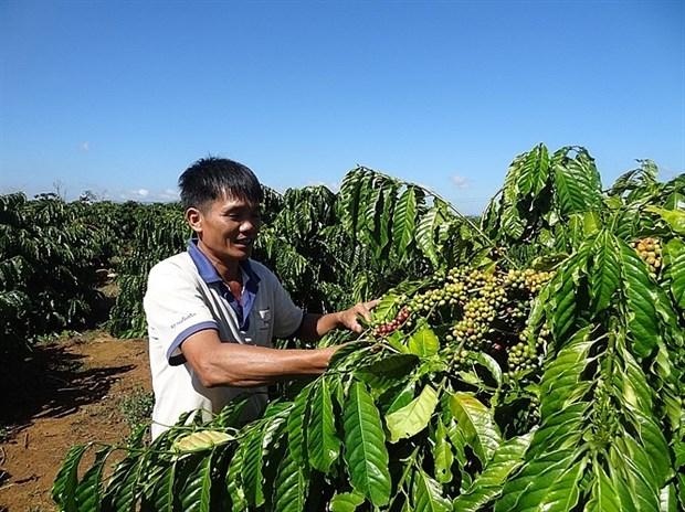 越南咖啡价格攀升 hinh anh 1