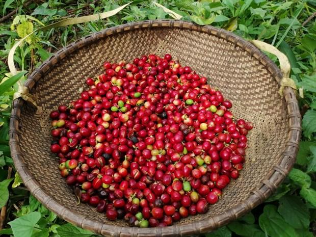 越南咖啡价格攀升 hinh anh 2