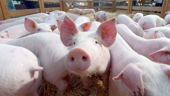 泰国采取应对措施 保护猪肉行业的发展 hinh anh 1