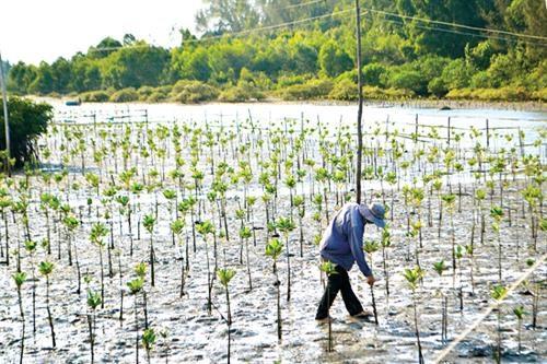 承天顺化省扩大红树林种植面积 有效应对气候变化 hinh anh 1