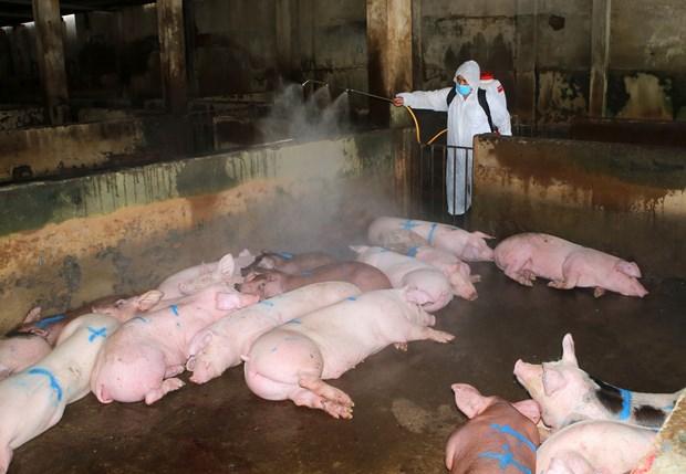 采取有力措施保障规模养猪场和种猪场生产安全 hinh anh 2