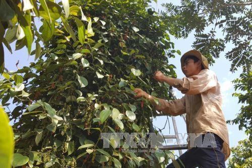 同奈省一家合作社的有机胡椒产品进军欧洲市场 hinh anh 1
