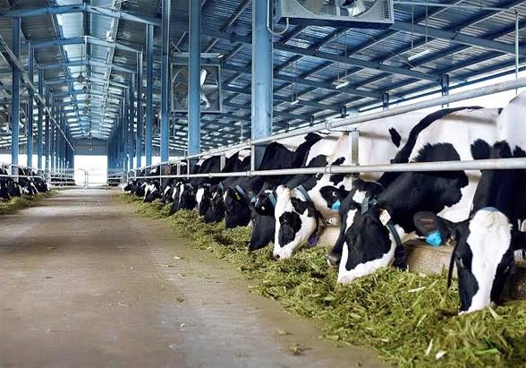 走在越南乳制品产业建设道路上的越南乳制品股份公司 hinh anh 1