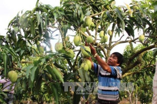 山罗省芒果成功出口英国 果农努力扩大销售市场 hinh anh 2