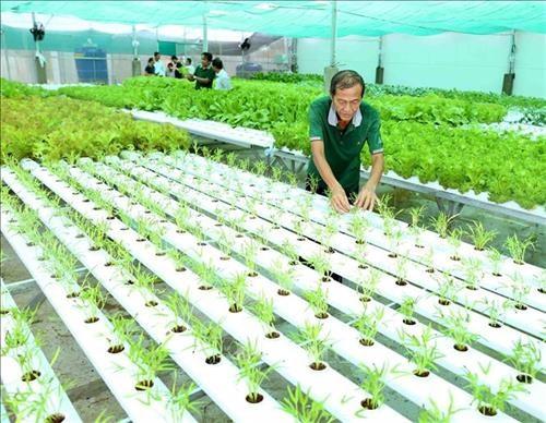越南种植的水培蔬菜已出口到韩国 hinh anh 1