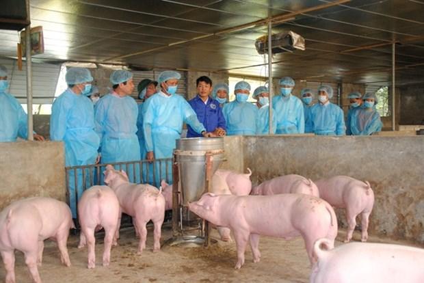 越南非洲猪瘟疫苗研究取得积极成果 hinh anh 1