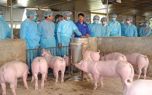 越南非洲猪瘟疫情形势依然复杂严峻 hinh anh 1