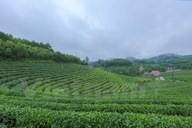 打造驰名品牌 恢复发展传统的球江茶区 hinh anh 1